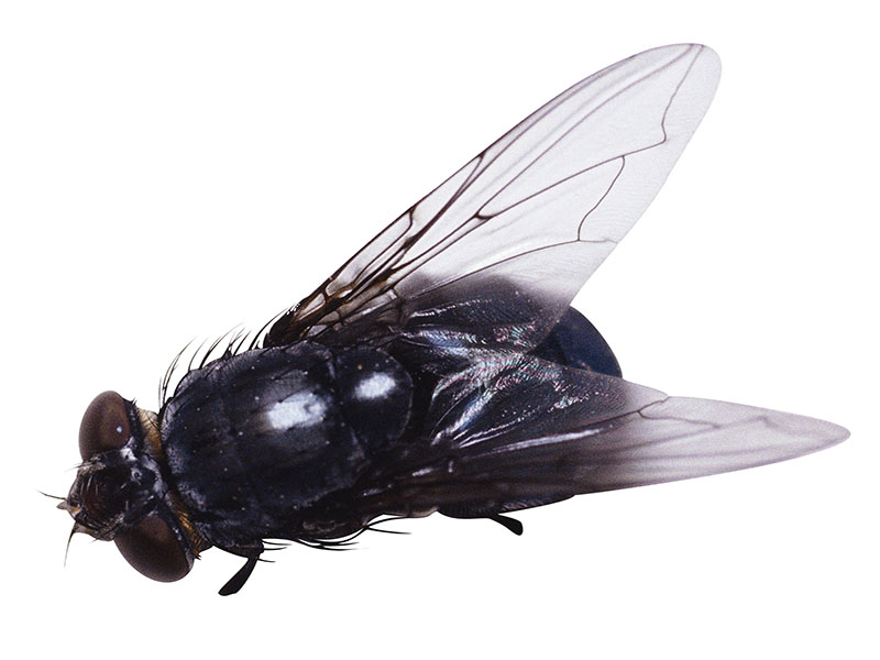 News Picture: Even Flies Enjoy Ejaculation: Study