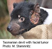 News Picture: Human Cancer Meds Might Help Save Tasmanian Devils