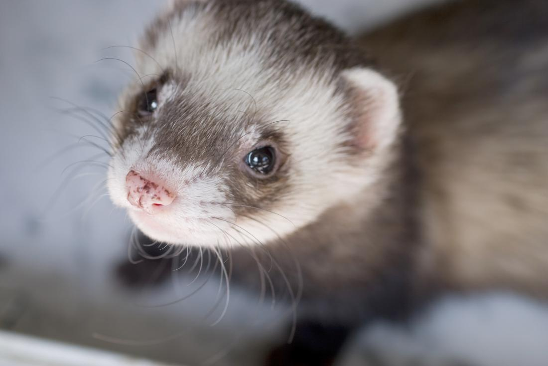 Ferret close up