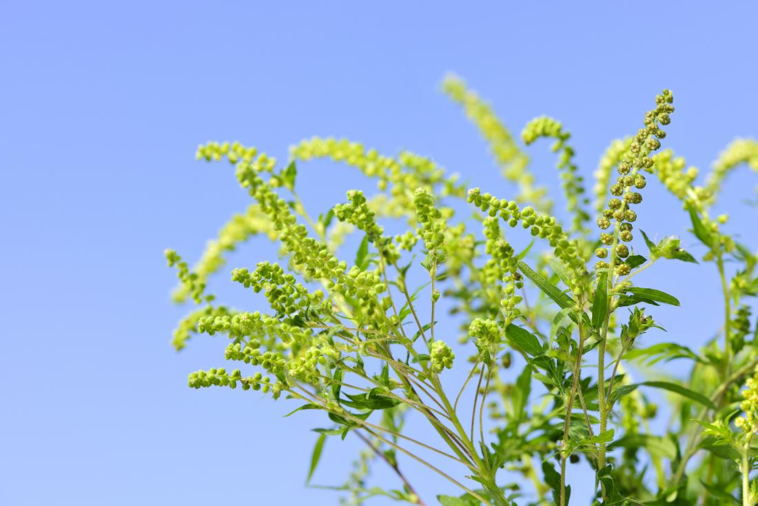 Ragweed plant causing allergy against blue sky.
