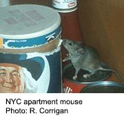 News Picture: The Poop on House Mice: They Carry 'Superbugs'