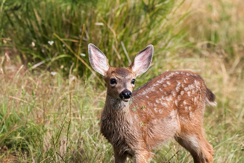 News Picture: Malaria Parasite Is Infecting, Killing U.S. Baby Deer