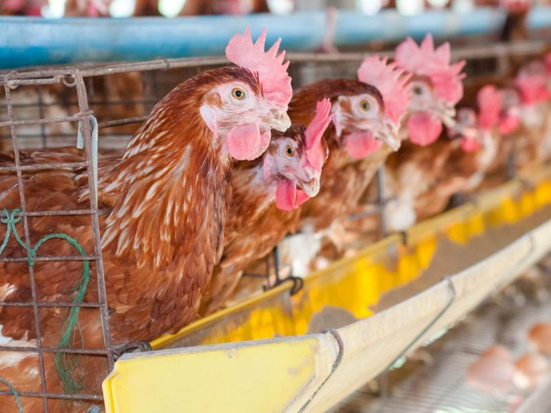 News Picture: 'Superbug' Surfaces at Poultry Farm in China