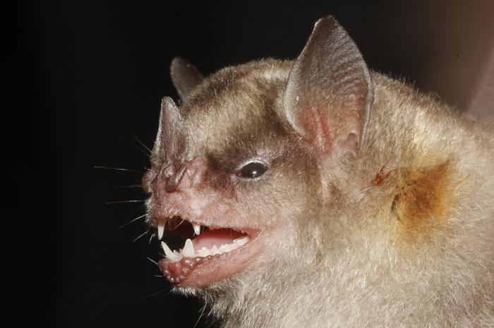 [bat infected with influenza A virus]