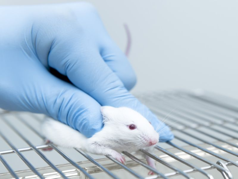 News Picture: Can Alzheimer's Be Spread? Mouse Study Hints It's Possible