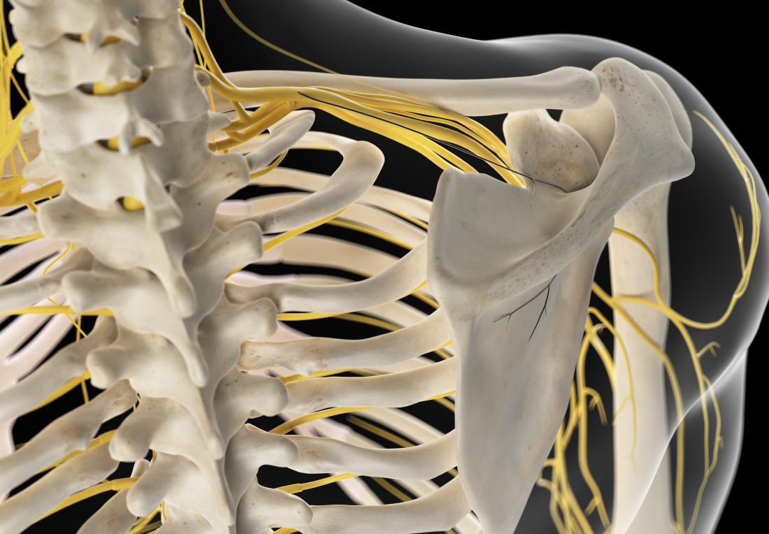 brachial plexus or 3d render of nerves connecting spine to arm and shoulder