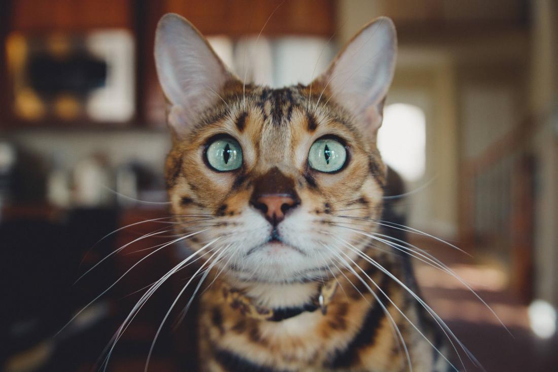 tiger striped cat
