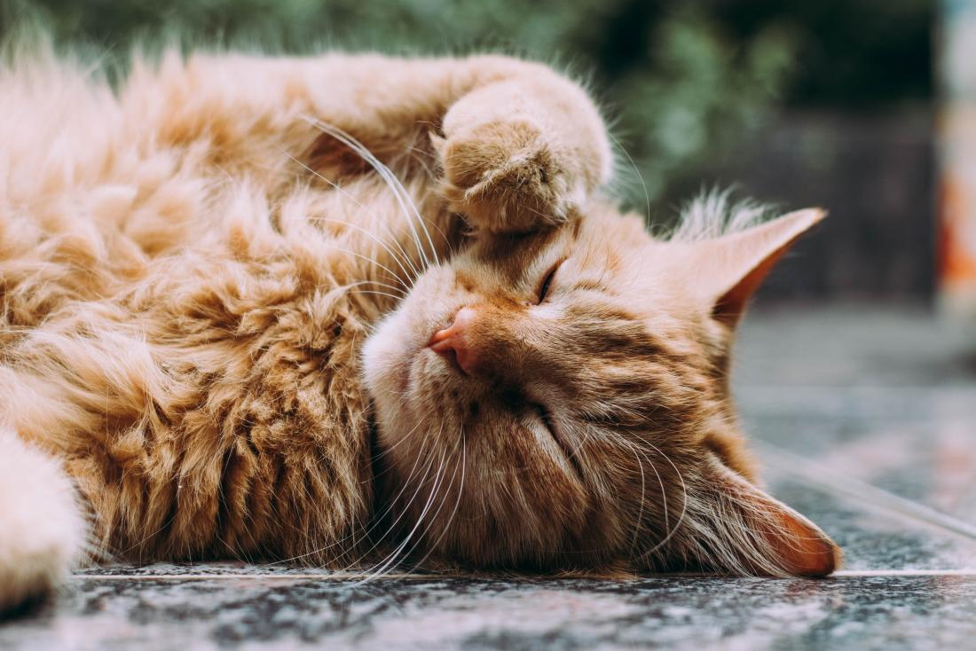relaxed ginger cat