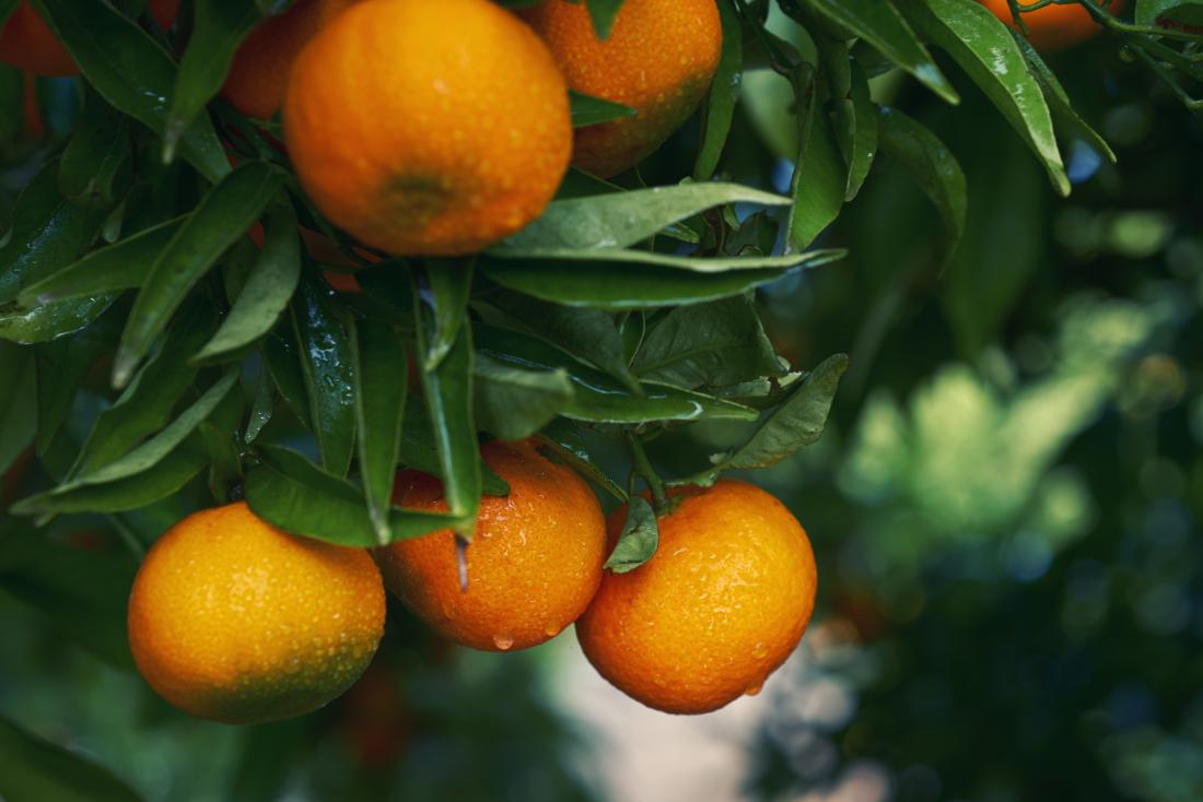 Orange citrus fruit growing on leafy tree