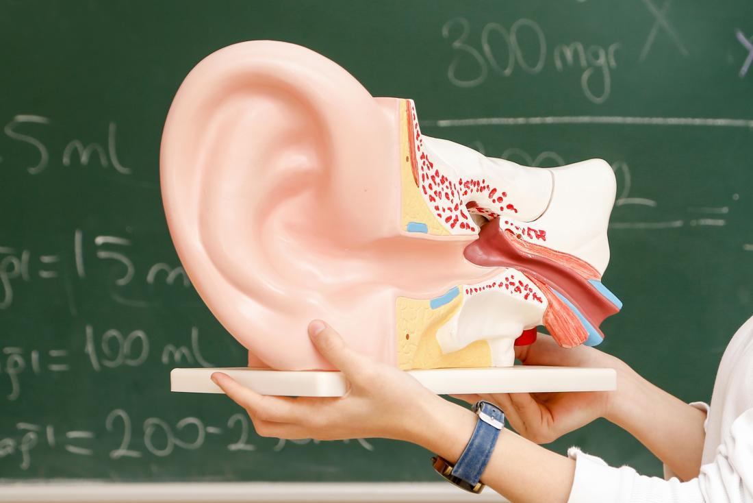 Ear anatomy classroom
