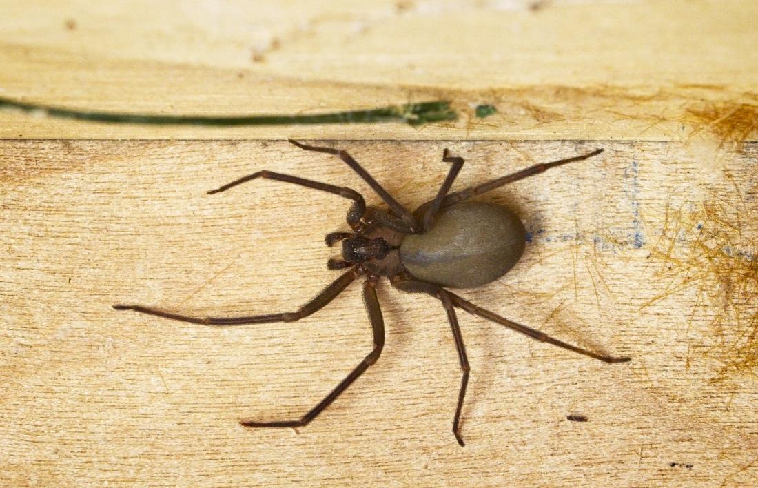 brown recluse spider bites