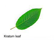 News Picture: Can Herbal Drug Kratom Kill?