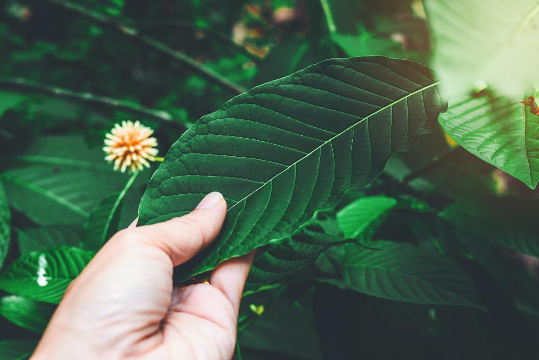 hand touching kratom leaf