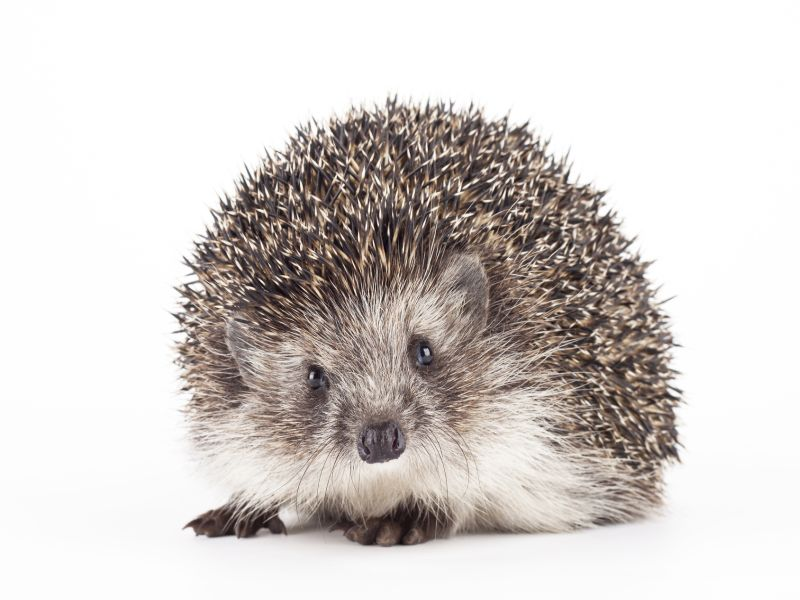 News Picture: Snuggling Your Pet Hedghog May Spread Salmonella, CDC Warns