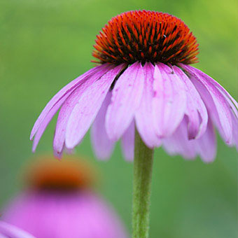 Echinacea is a herbal remedy commonly used in treating upper respiratory infection.