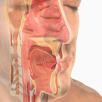 Illustration of the upper respiratory system.