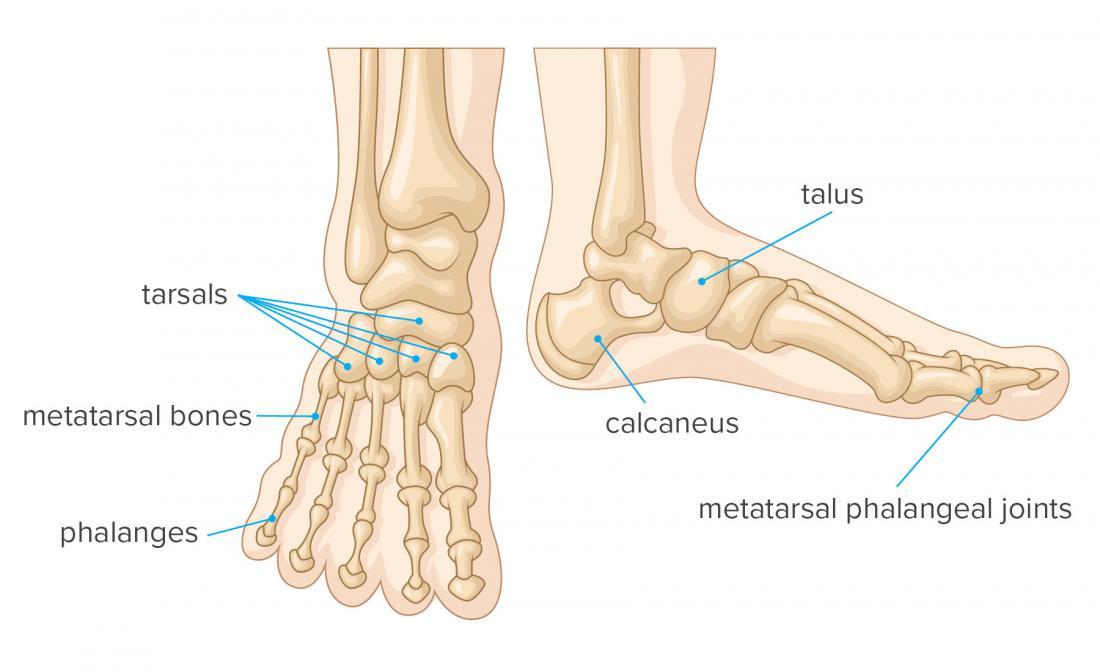 Bones of the foot anatomy infographic
