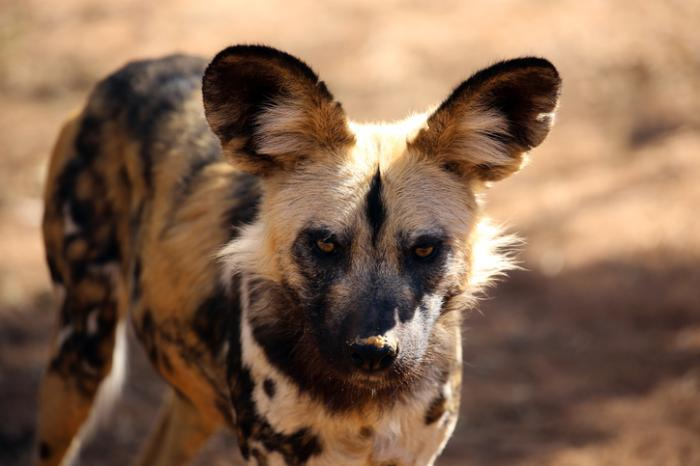 [African painted dog]