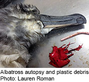 News Picture: The Deadliest Plastic for Seabirds? Balloons