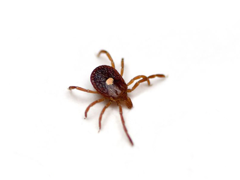 News Picture: Tick Bites More Likely to Cause Red Meat Allergy Than Thought