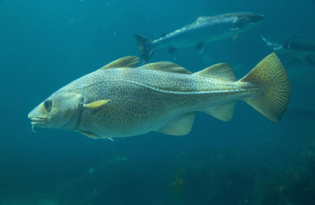 Cod fish swimming in the ocean