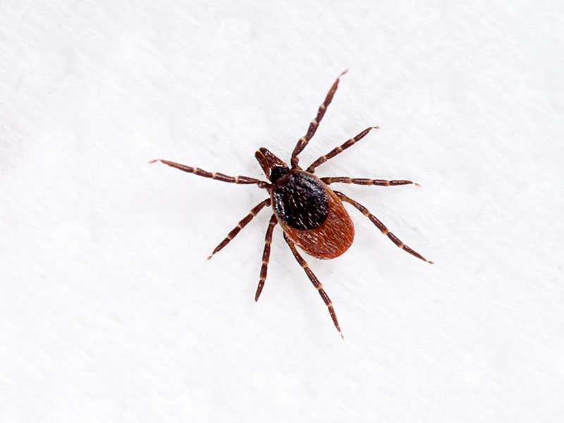 News Picture: Everything You Need to Know About Lyme Disease