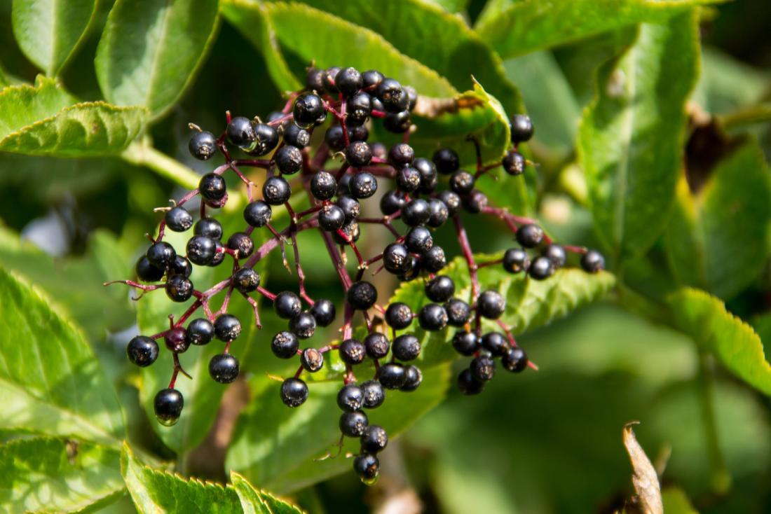 image of elderberries