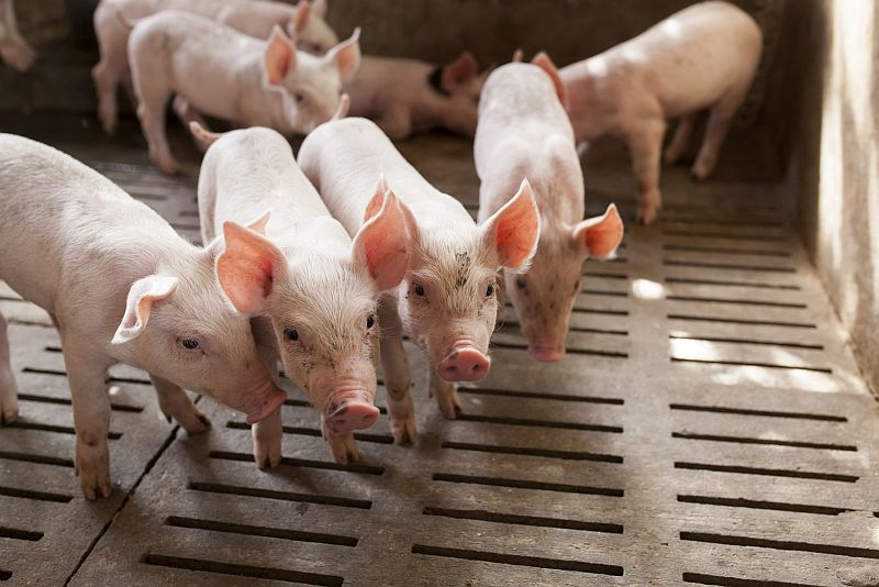 News Picture: Scientists Bring Pig's Brain, Dead 4 Hours, Back to 'Cellular Activity'