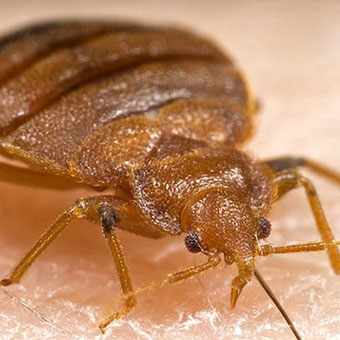 An adult bedbug ingests a blood meal from the arm of a