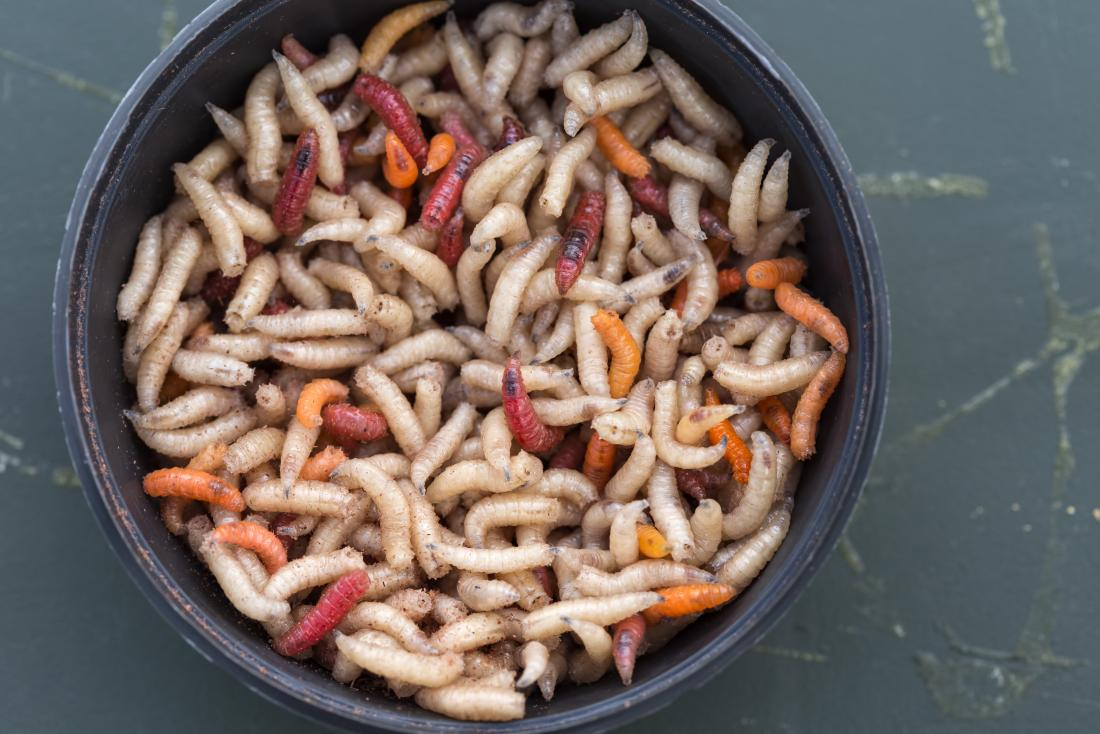 Maggots in a bowl