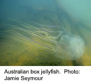 News Picture: There May Be Antidote for Ocean's Most Venomous Creature