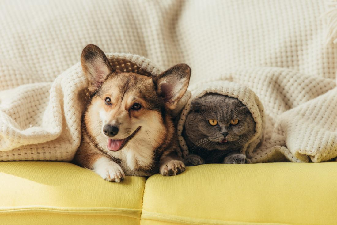 Dog and cat under blanket for animal dander allergy