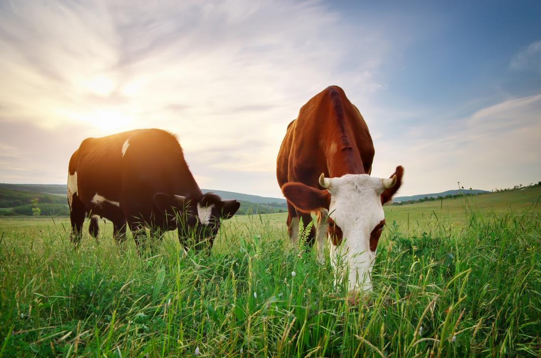 Cows in field eating grass to create grass-fed butter