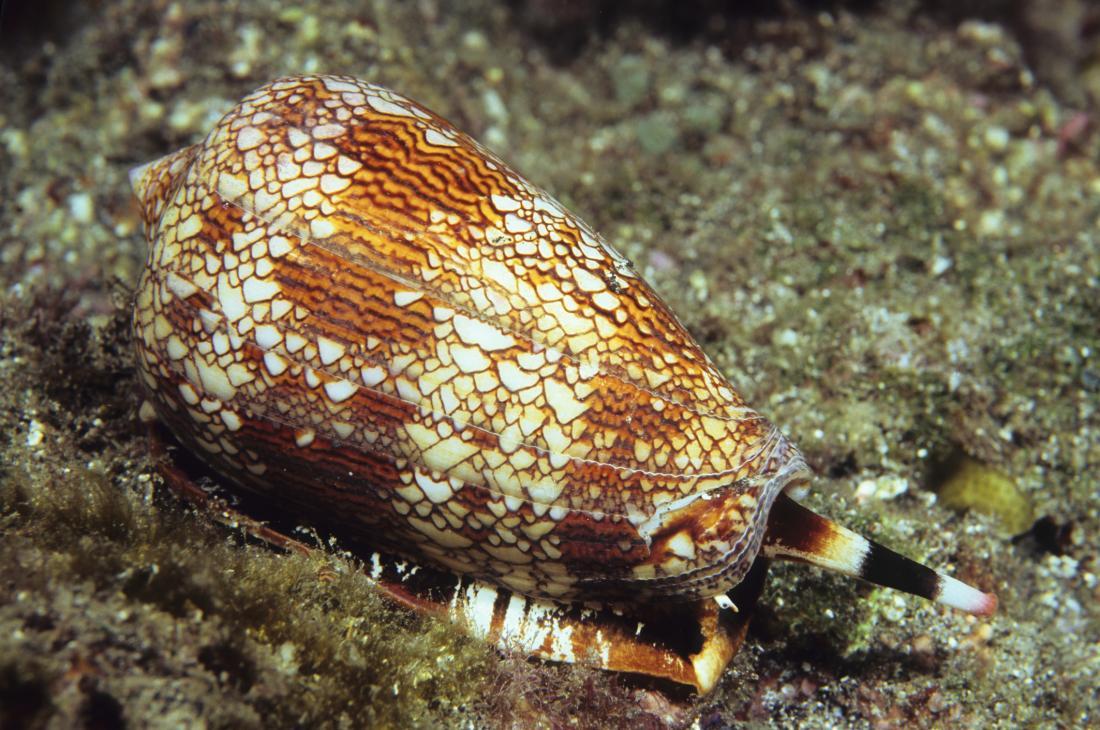 Textile cone snail