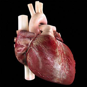 A life-like model of a human heart.