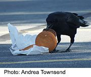 News Picture: Caw-lesterol? Fatty City Food Hits Crows' Arteries