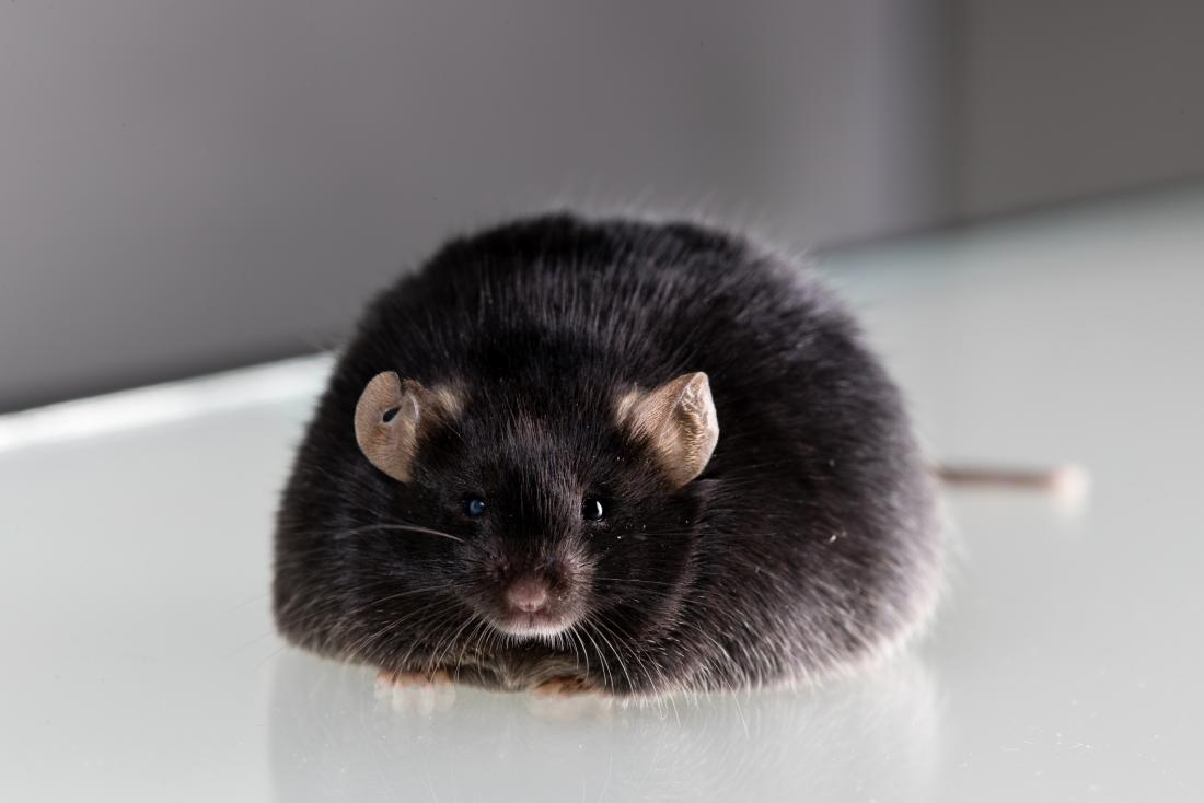 Gene editing obese lab mouse