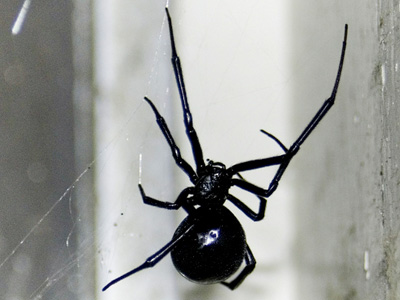 Picture of a top view of a black widow spider
