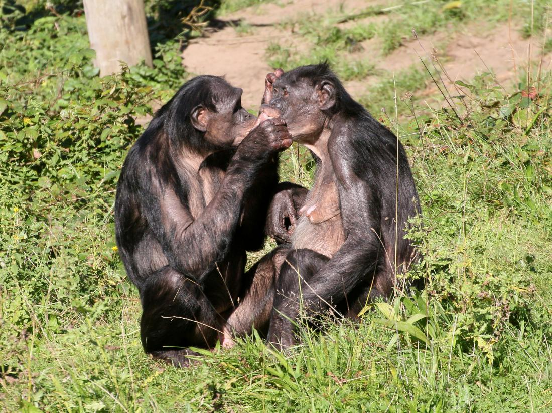 female bonobos grooming each other