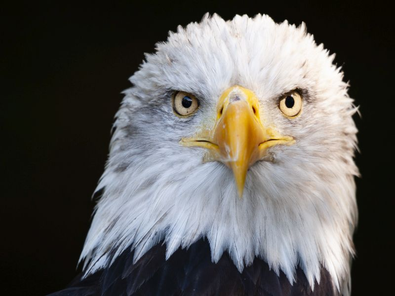 News Picture: Bald Eagles Across U.S. Infected With Newly Identified Virus