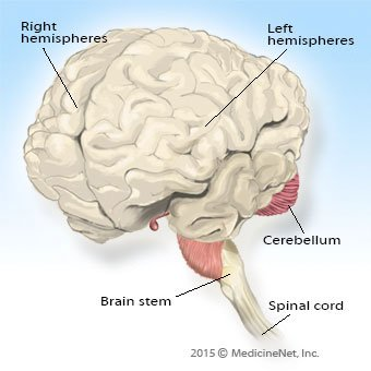 Illustration of the brain showing the two hemispheres, cerebellum and brains stem.