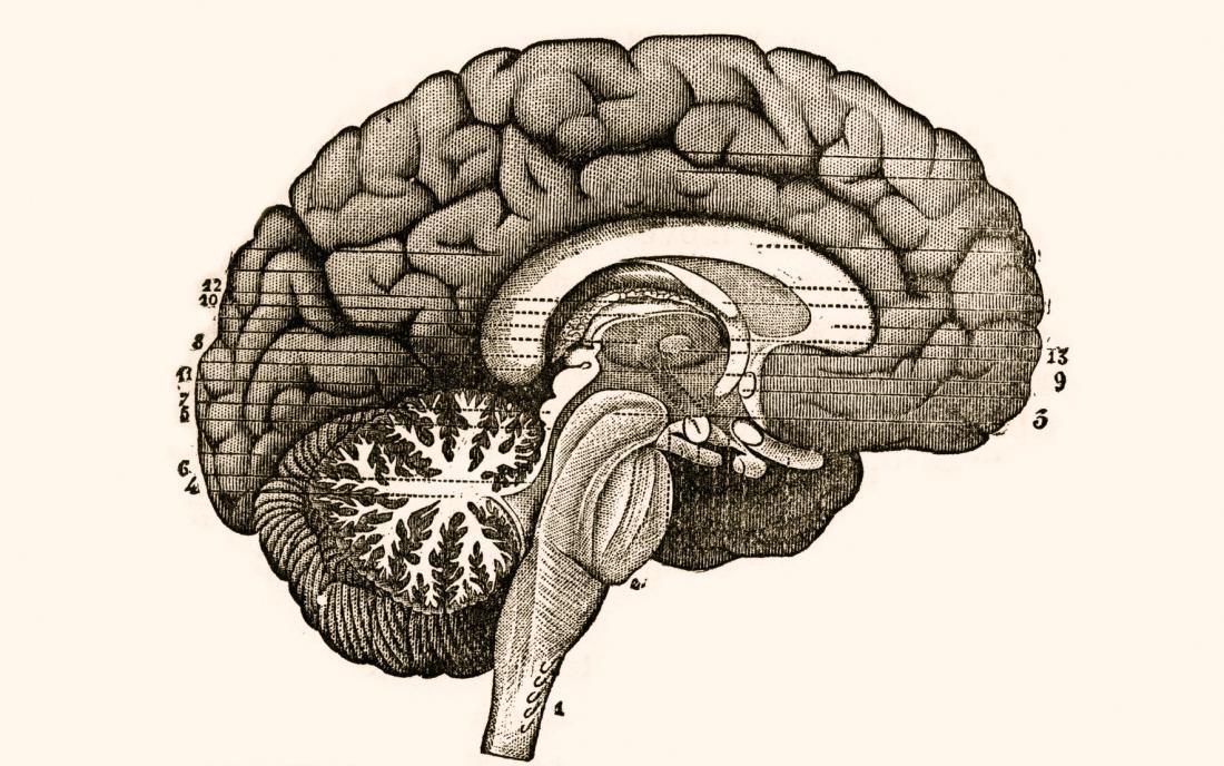 illustration of brain section