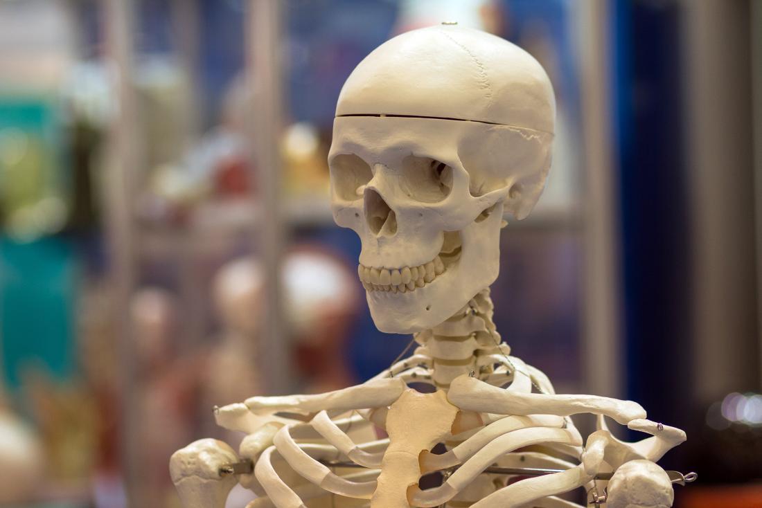 a skull model showing the temporal bones