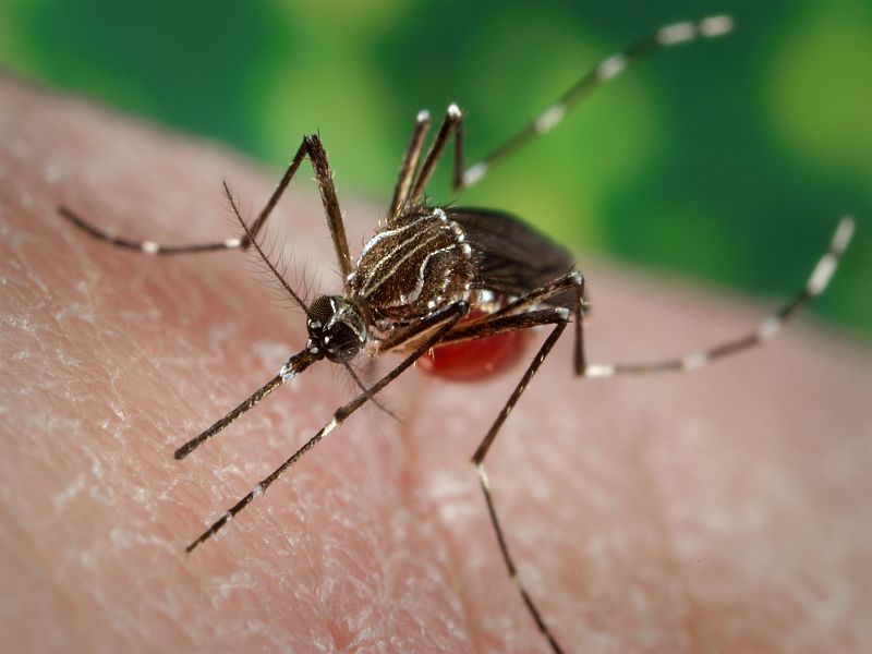 News Picture: Researchers Alter Mosquitoes to Resist Dengue Infection