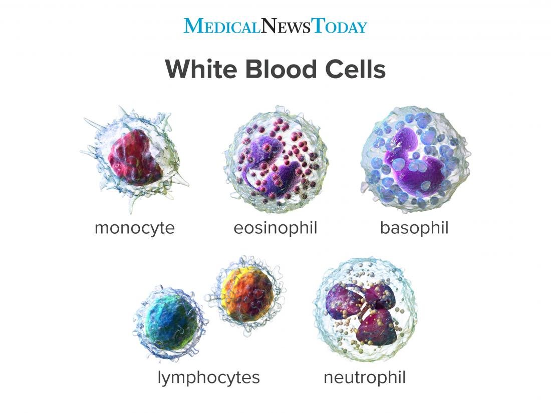 an infographic showing the different types of White blood cells