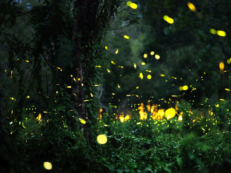 News Picture: Will the Lights of Fireflies Be Extinguished?