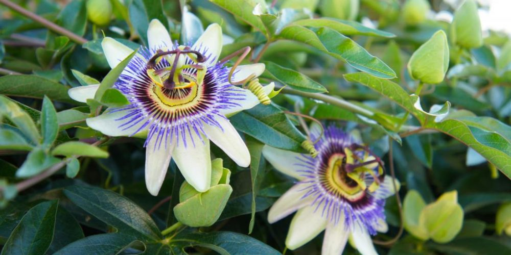 Benefits of passionflower for anxiety and insomnia