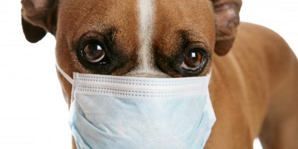 Could 'dog flu' be the next pandemic?