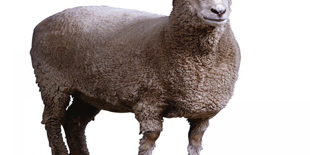 World's Oldest Stored Semen Successfully Used to Breed Sheep