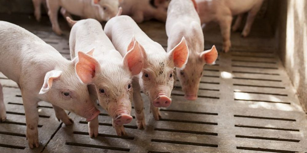 Scientists Bring Pig's Brain, Dead 4 Hours, Back to 'Cellular Activity'